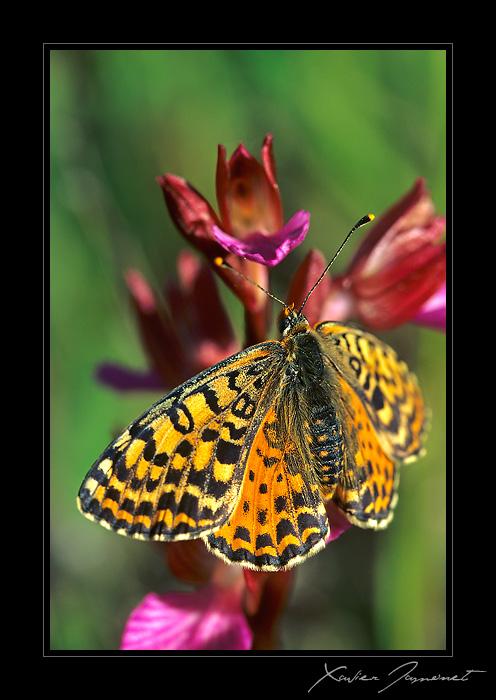 Quand l'Anacamptis papillonacea se marie avec...un papillon! Melitee